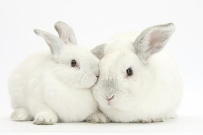 Elderly White Rabbit, Foggy, 8 Years Old, and His Young Son, 9 Weeks Old by Mark Taylor