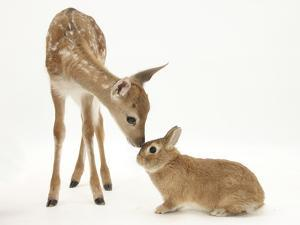 Fallow Deer (Dama Dama) Fawn and Sandy Netherland-Cross Rabbit by Mark Taylor