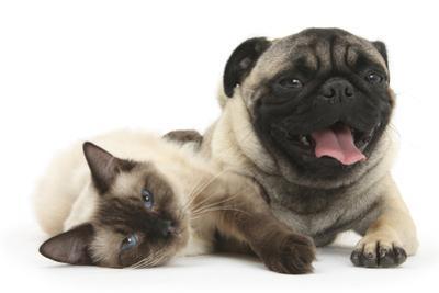 Fawn Pug and Birman-Cross Cat by Mark Taylor