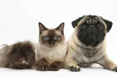 Fawn Pug, Burmese-Cross Cat and Shaggy Guinea Pig by Mark Taylor