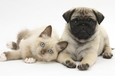 Fawn Pug Puppy, 8 Weeks, and Birman-Cross Kitten by Mark Taylor