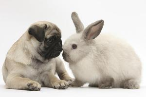 Fawn Pug Puppy, 8 Weeks, and Sooty Colourpoint Rabbit by Mark Taylor