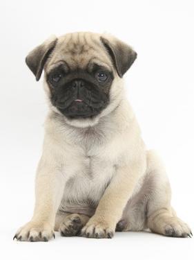 Fawn Pug Puppy, 8 Weeks, Sitting by Mark Taylor