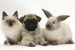 Fawn Pug Puppy, 8 Weeks, with Birman X Ragdoll Kitten and Young Sooty Colourpoint Rabbit by Mark Taylor