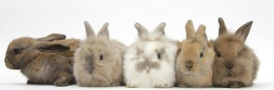 Five Baby Lionhead-Cross Rabbits in Line by Mark Taylor