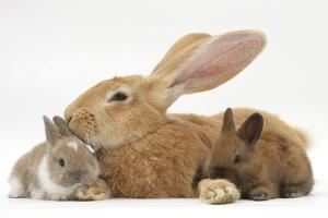 Flemish Giant Rabbit and Baby Netherland Dwarf-Cross Rabbits by Mark Taylor