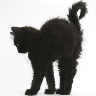Fluffy Black Kitten, 9 Weeks Old, Stretching with Arched Back by Mark Taylor