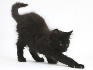 Fluffy Black Kitten, 9 Weeks Old, Stretching by Mark Taylor