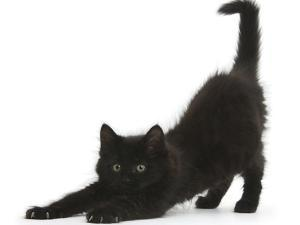 Fluffy Black Kitten, 9 Weeks, Stretching by Mark Taylor