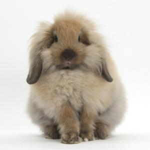 Fluffy Lionhead Cross Lop Rabbit by Mark Taylor