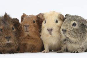 Four Baby Guinea Pigs, Each a Different Colour by Mark Taylor