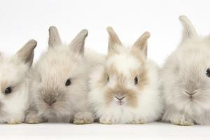 Four Baby Lionhead Cross Lop Bunnies in a Row by Mark Taylor