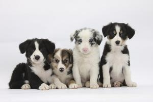 Four Border Collie Puppies by Mark Taylor
