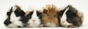 Four Young Guinea-Pigs by Mark Taylor