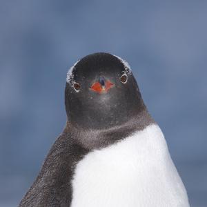 Gentoo Penguin (Pygoscelis Papua) Portrait, Antarctica by Mark Taylor