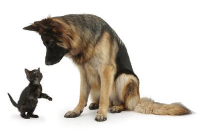German Shepherd Dog Bitch, Coco, Looking Down on Black Kitten by Mark Taylor