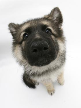 German Shepherd Dog Bitch Puppy, Echo, Looking Up by Mark Taylor