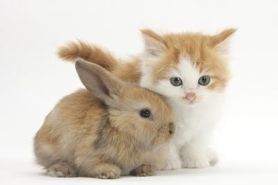 Ginger-And-White Kitten Baby Rabbit