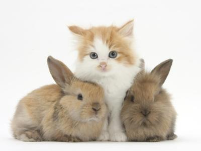 Ginger-And-White Kitten Baby Rabbits by Mark Taylor