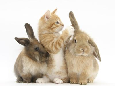 Ginger Kitten, 7 Weeks, Playing with Ear of Young Lionhead-Lop Rabbits by Mark Taylor