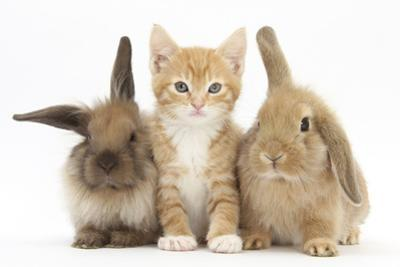 Ginger Kitten, 7 Weeks, Sitting Between Two Young Lionhead-Lop Rabbits
