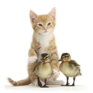 Ginger Kitten and Mallard Ducklings by Mark Taylor