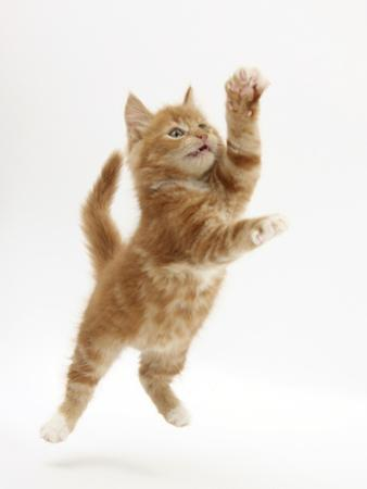 Ginger Kitten Leaping in to the Air by Mark Taylor