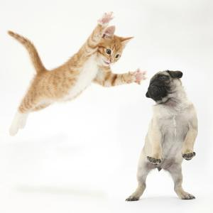 Ginger Kitten Leaping Towards a Pug Puppy by Mark Taylor
