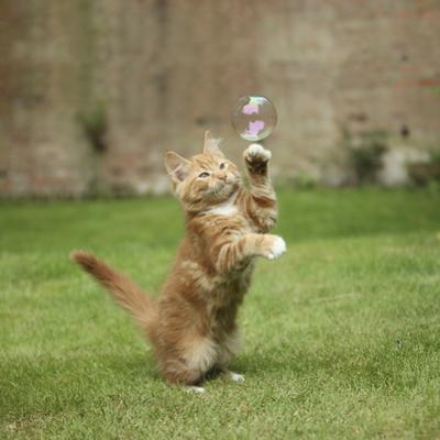 Ginger Kitten on Grass Swiping at a Soap Bubble