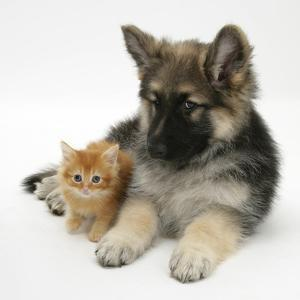 Ginger Kitten with German Shepherd Dog (Alsatian) Bitch Puppy, Echo by Mark Taylor
