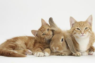Ginger Kittens with Sandy Lionhead-Lop Rabbit by Mark Taylor