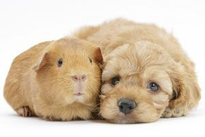 Golden Cockerpoo (Cocker Spaniel X Poodle) Puppy, 6 Weeks, with Red Guinea Pig by Mark Taylor