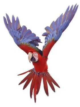 Green Winged Macaw {Ara Chloroptera} in Flight, Captive by Mark Taylor