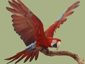 Green Winged Macaw {Ara Chloroptera} on Perch with Wings Spread. Captive. UK by Mark Taylor