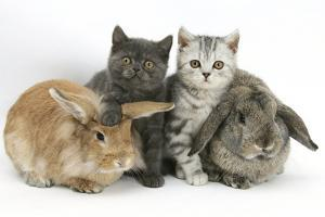 Grey Kitten and Silver Tabby Kitten with Sandy Lionhead-Cross and Agouti Lop Rabbits by Mark Taylor