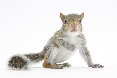 Grey Squirrel (Sciurus Carolinensis) Hand-Reared Baby by Mark Taylor