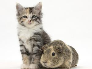 Guinea Pig and Maine Coon-Cross Kitten, 7 Weeks by Mark Taylor