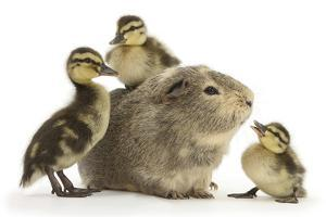 Guinea Pig and Three Mallard Ducklings by Mark Taylor