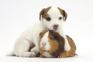 Jack Russell Terrier Puppy, 4 Weeks and Guinea Pig by Mark Taylor