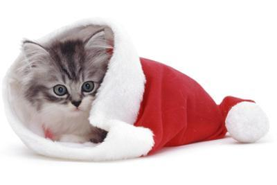 Kitten in Father Christmas Hat *Restriction - Not Available for Greetings Cards and Calendars by Mark Taylor