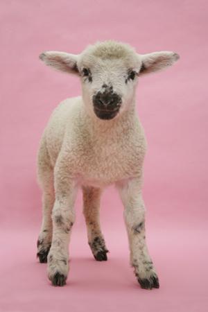 Lamb Portrait by Mark Taylor