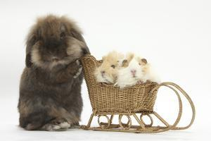 Lionhead-Cross Rabbit Pushing Two Young Guinea Pigs in a Wicker Toy Sledge by Mark Taylor