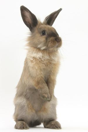 Lionhead-Cross Rabbit Sitting Up on its Haunches by Mark Taylor