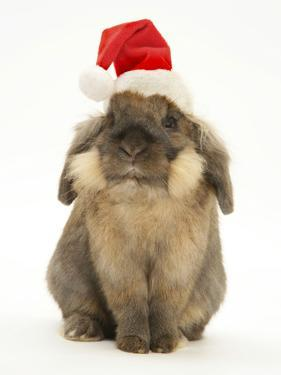 Lionhead Rabbit Wearing Father Christmas Hat by Mark Taylor
