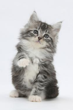 Maine Coon-Cross Kitten, 7 Weeks, Sitting with Paw Raised by Mark Taylor