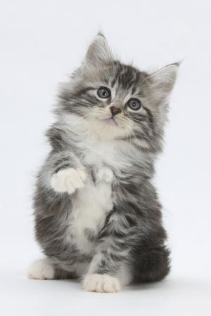 Maine Coon-Cross Kitten, 7 Weeks, Sitting with Paw Raised