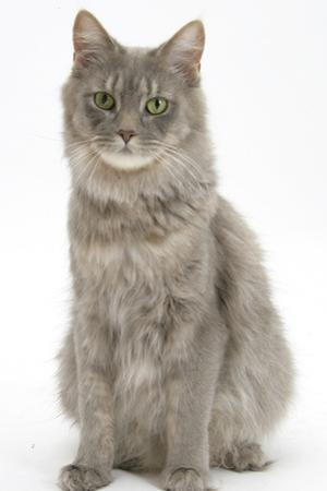 Maine Coon Female Cat, Serafin, Sitting by Mark Taylor