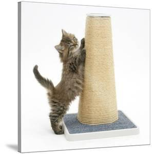 Maine Coon Kitten, 7 Weeks, Using a Scratch Post by Mark Taylor