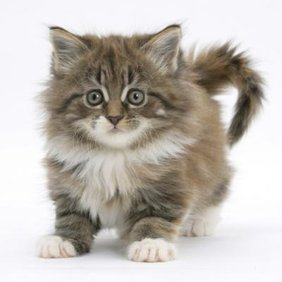 Maine Coon Kitten, 7 Weeks by Mark Taylor