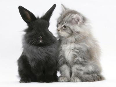 Maine Coon Kitten, 8 Weeks, and Black Baby Dutch X Lionhead Rabbit by Mark Taylor